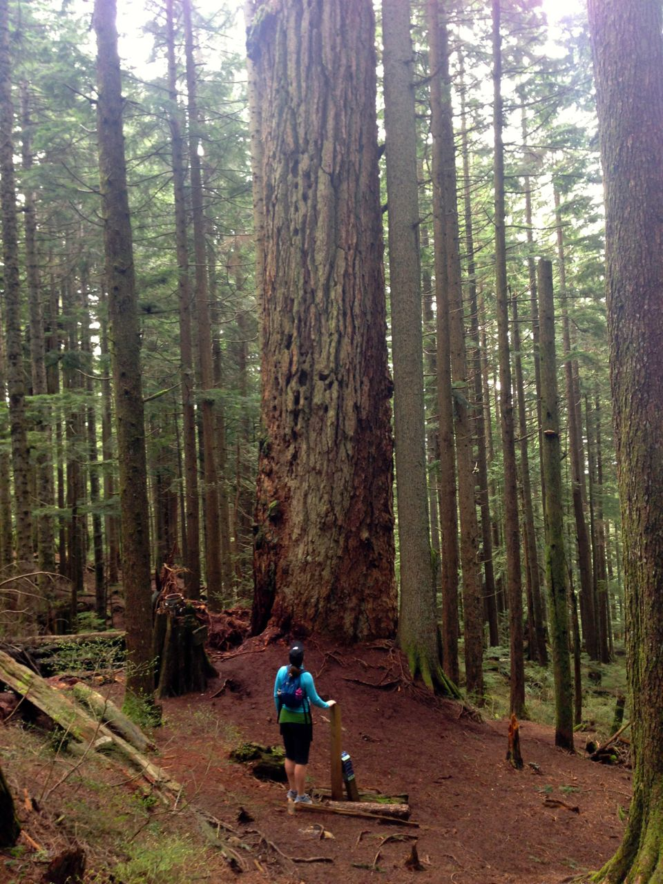 Big old growth tree on the Brothers Creek trail
