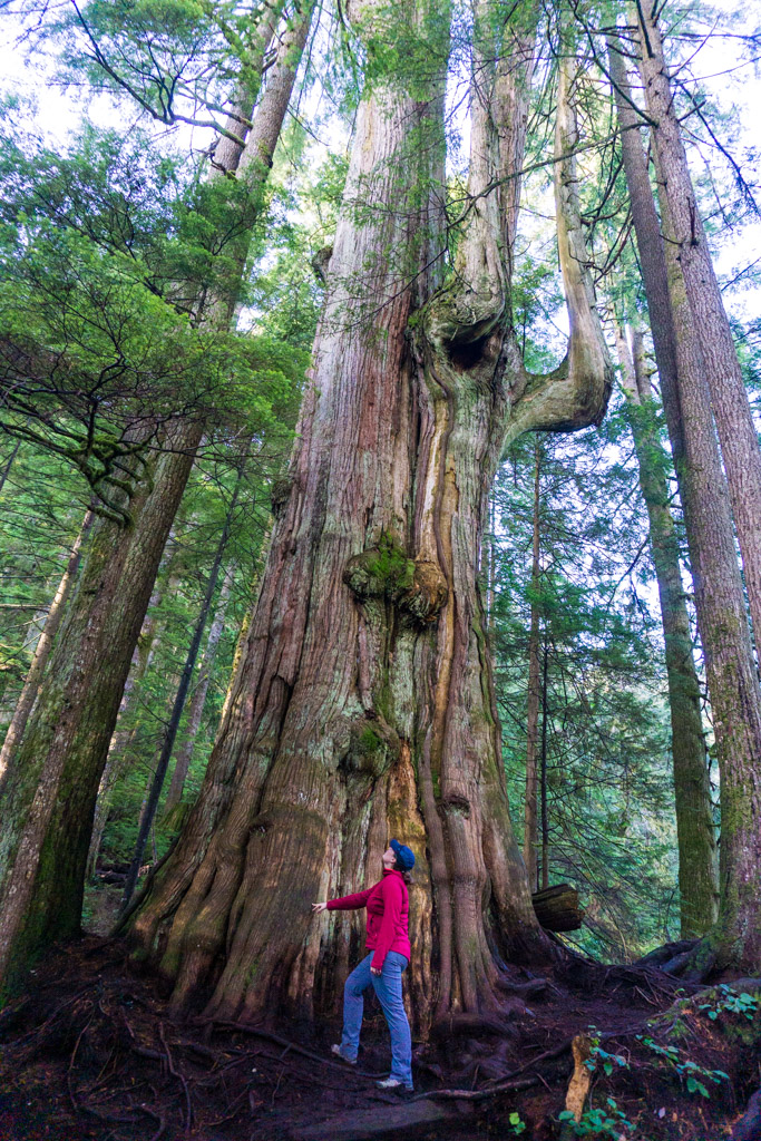 A hiker beside the 600 year old Big Cedar Tree on the Kennedy Falls trail in North Vancouver BC