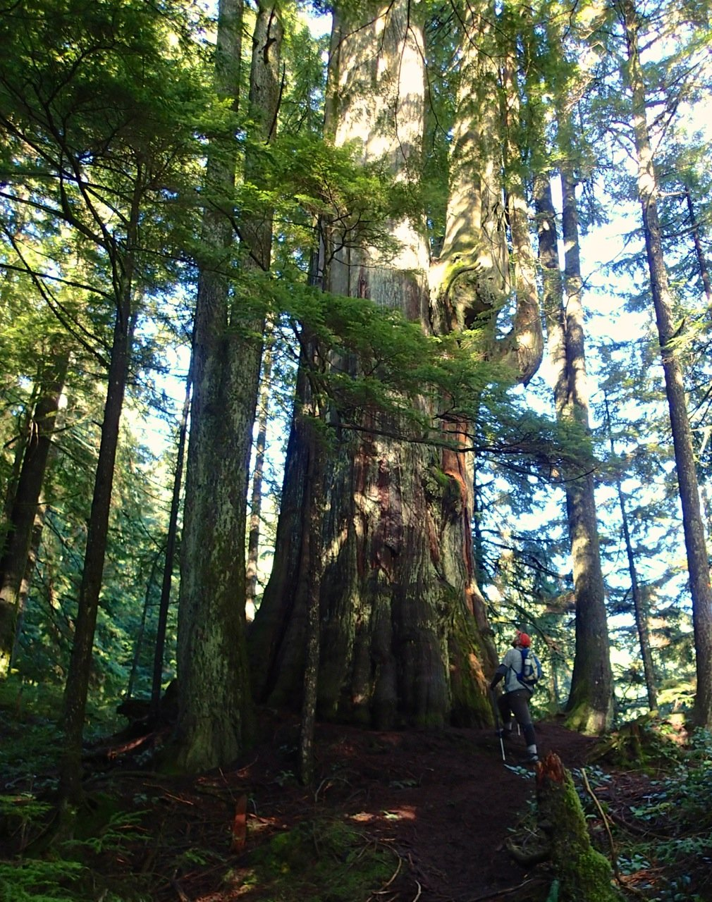 The Big Cedar on lower Mount Fromme