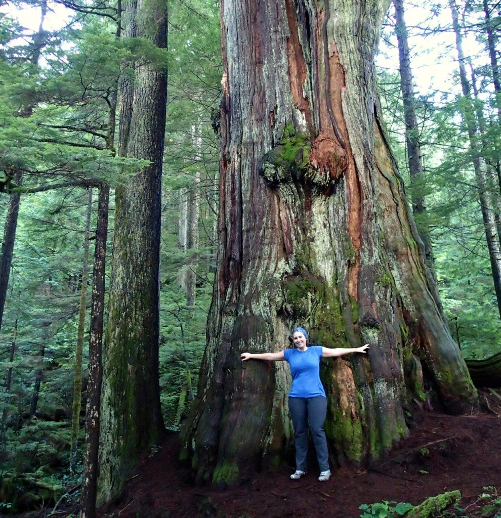 The Big Cedar on lower Mount Fromme on the way to Kennedy Falls. You can get to this Vancouver hike on transit
