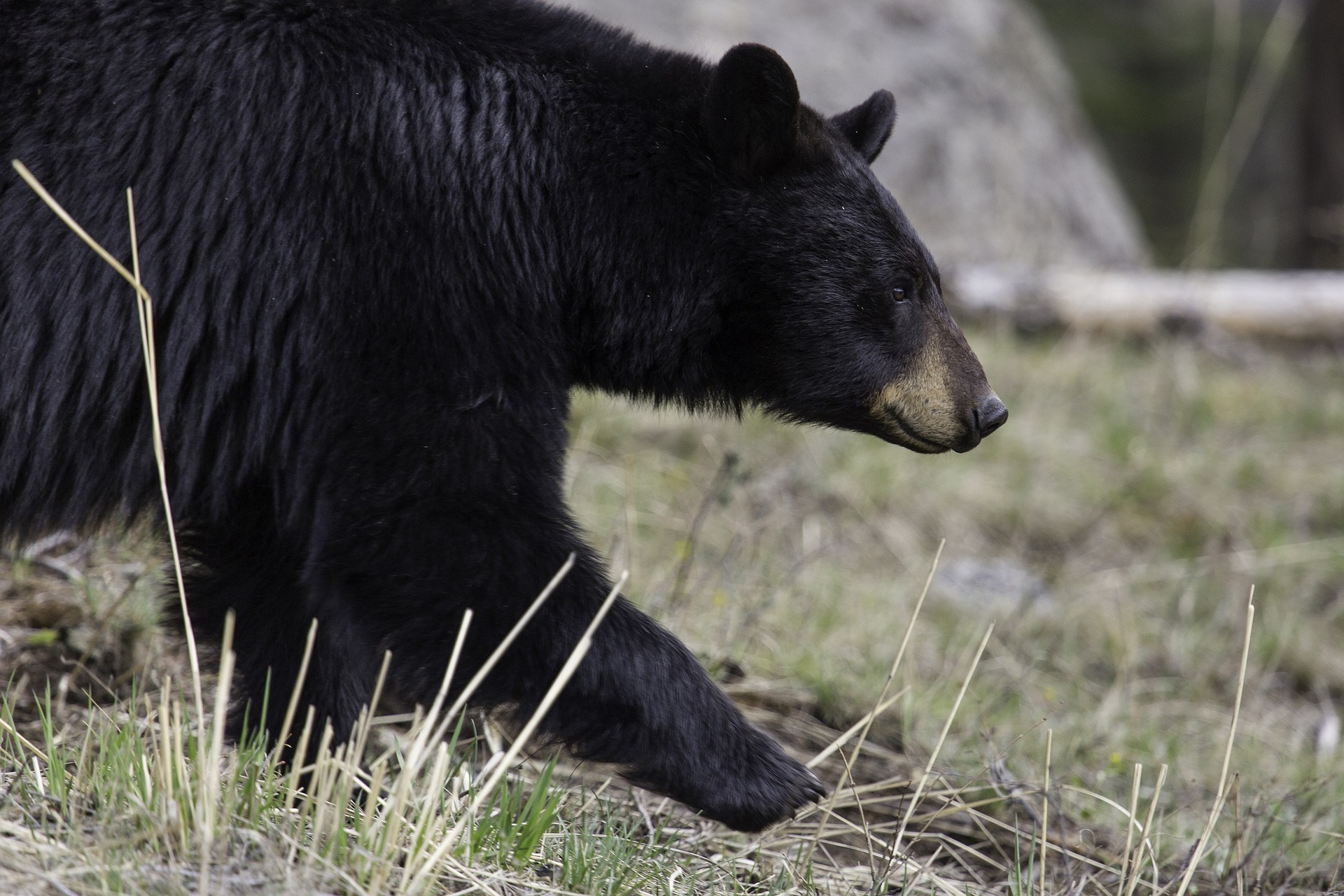 Bear Safety For Hikers Campers And Backpackers Happiest