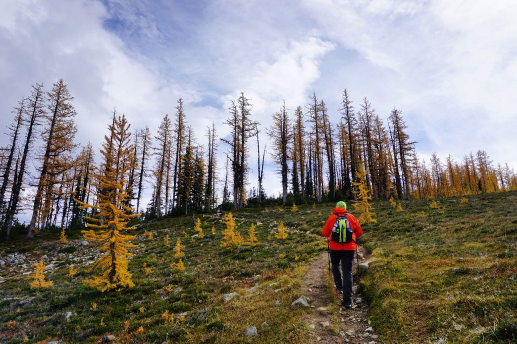 Larches on Mount Frosty in Manning Provincial Park