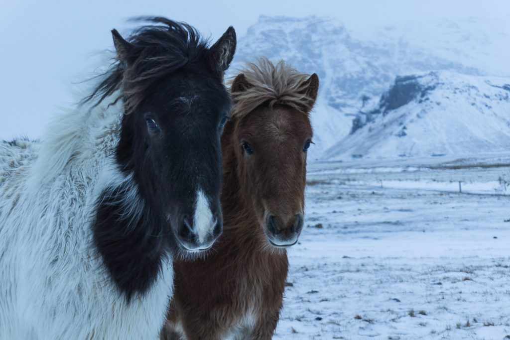 Icelandic horses in winter. A winter week in Iceland. Iceland in January. 35 Photos that will make you want to go to Iceland in winter.