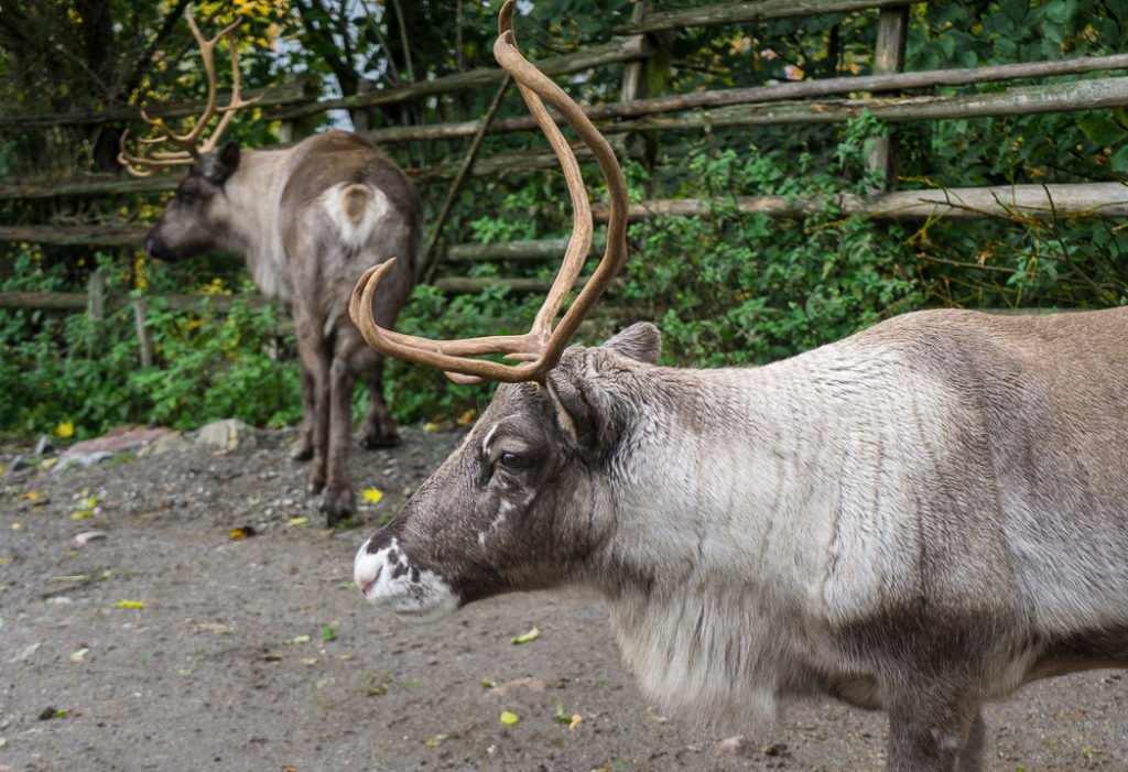 Reindeer at the Skansen museum in Stockholm, Sweden. 30 photos of Stockholm that will inspire you to visit.