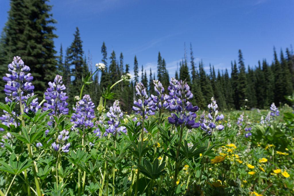 Alpine flowers in Manning Park, British Columbia, Canada