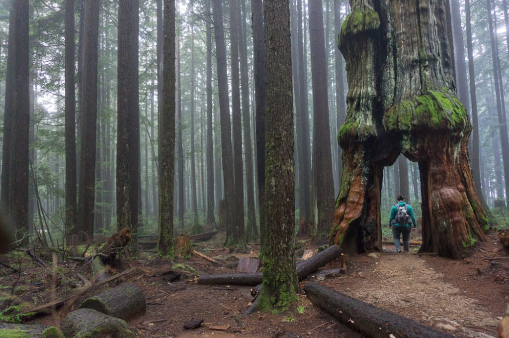 Walking through an old cedar in the Lower Seymour Conservation Reserve in North Vancouver. Just one of 15 unusual hikes near Vancouver.