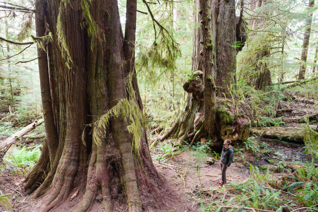 Giant cedars near the Red Creek Fir. Visit Big Lonely Doug, Avatar Grove and the other big trees near Port Renfrew, British Columbia.
