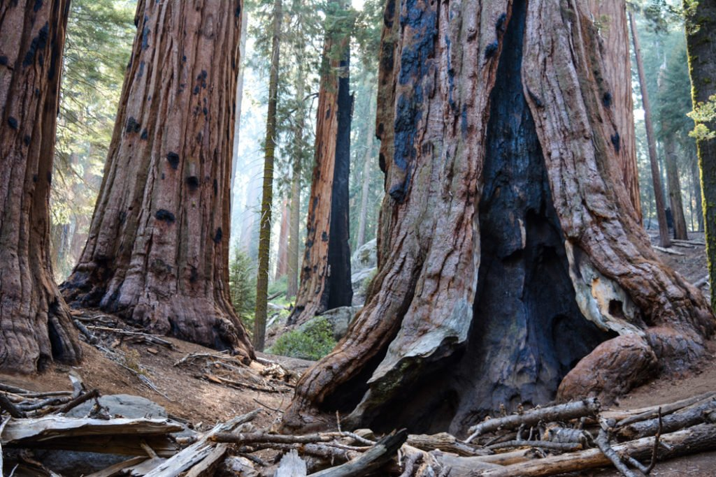Sequoias on the Congress Trail in Sequoia National Park - just one of many things to do in Sequoia and Kings Canyon National Parks.