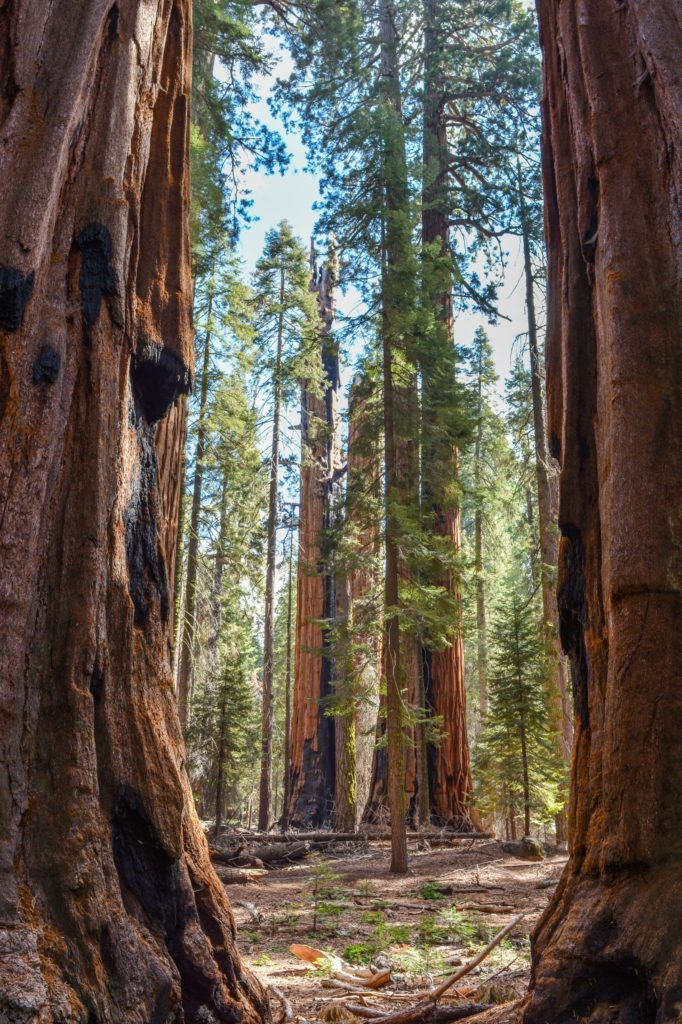 Walking amongst sequoias on the Congress Trail in Sequoia National Park - just one of many things to do in Sequoia and Kings Canyon National Parks.