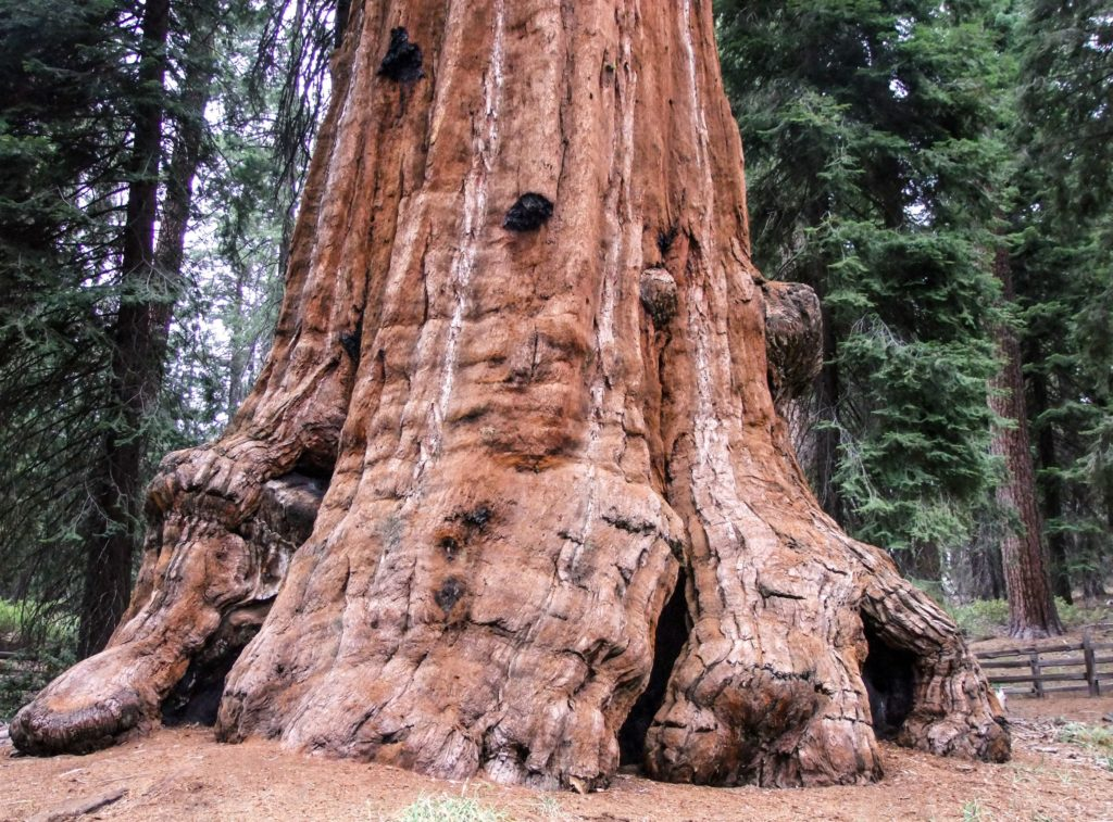 A large sequoia in General Grant Grove in Sequoia National Park - just one of many things to do in Sequoia and Kings Canyon National Parks.