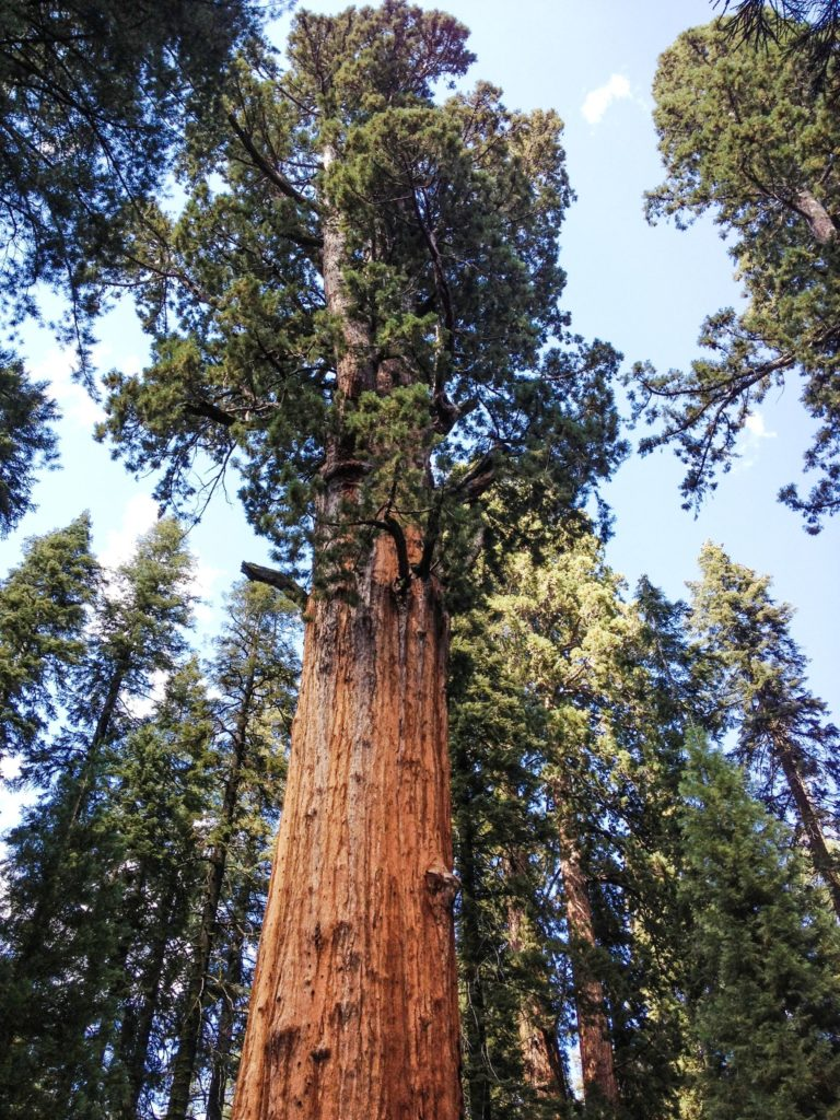 A sequoia tree in Sequoia National Park - just one of many things to do in Sequoia and Kings Canyon National Parks.