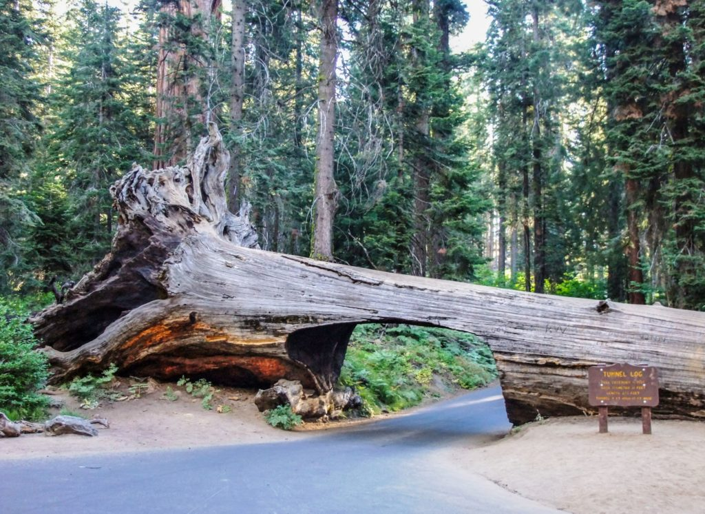 The drive-through log at Tunnel Log in Sequoia National Park - just one of many things to do in Sequoia and Kings Canyon National Parks.