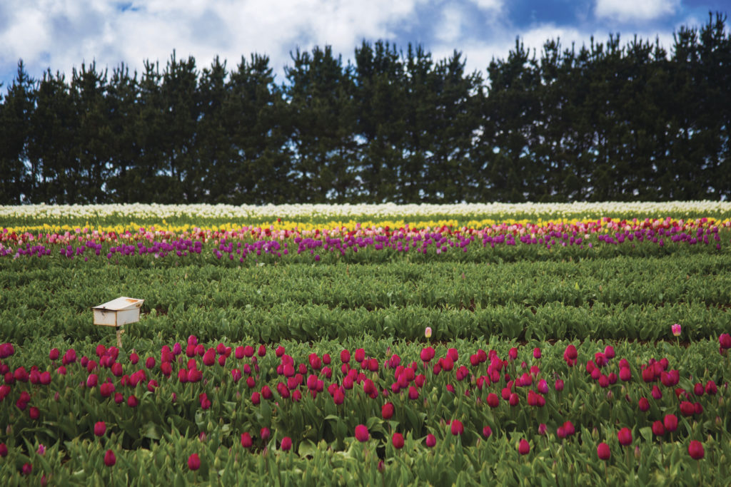 Table Cape Tulip Farm in North West Tasmania. Just one of over 40 things to do in Devonport and Tasmania's North West.
