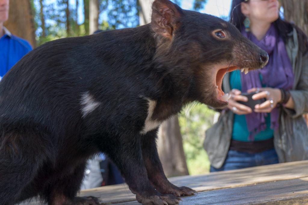 Tasmanian Devil at Trowunna Wildlife Sanctuary in Tasmania.