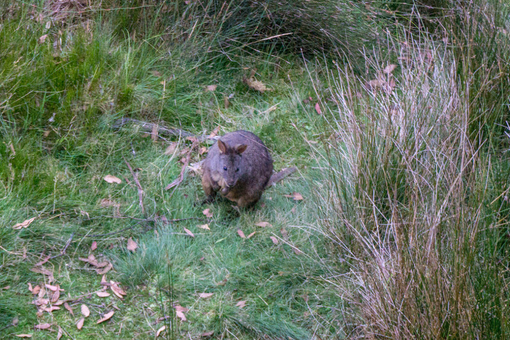 Pademelon at the New Pelion Hut and campsite on the Overland Track in Tasmania, Australia
