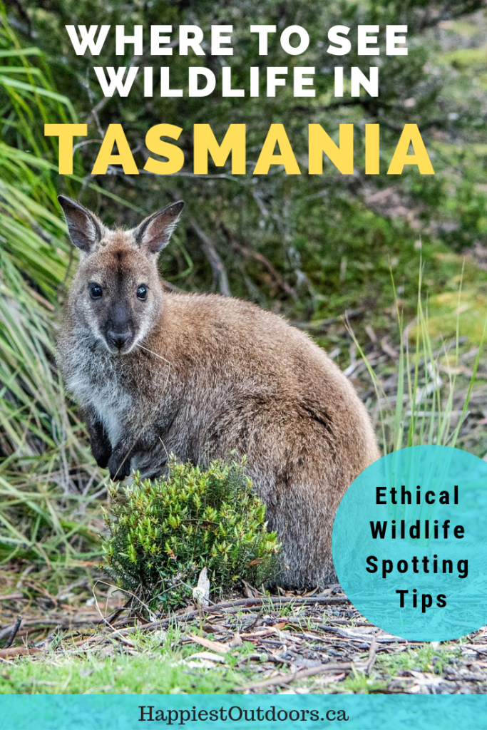 The best places to wildlife in Tasmania, Australia. Includes tips on where to see animals in the wild and ensuring your wildlife encounter is ethical. #Tasmania #Australia #wildlife