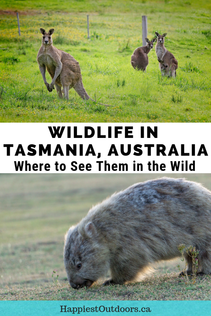Where to see wildlife in the wild in Tasmania, Australia. Tips for where to go, which animals you can see and how to ensure your animal encounter is ethical. #Tasmania #Australia #wildlife