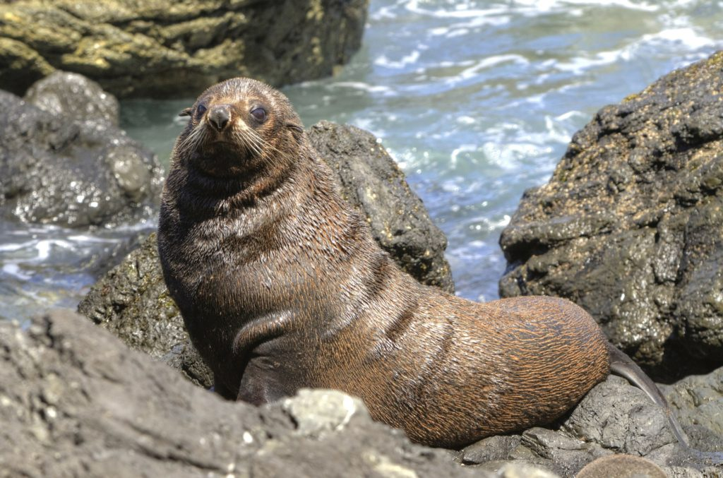 Fur seal in Tasmania, Australia