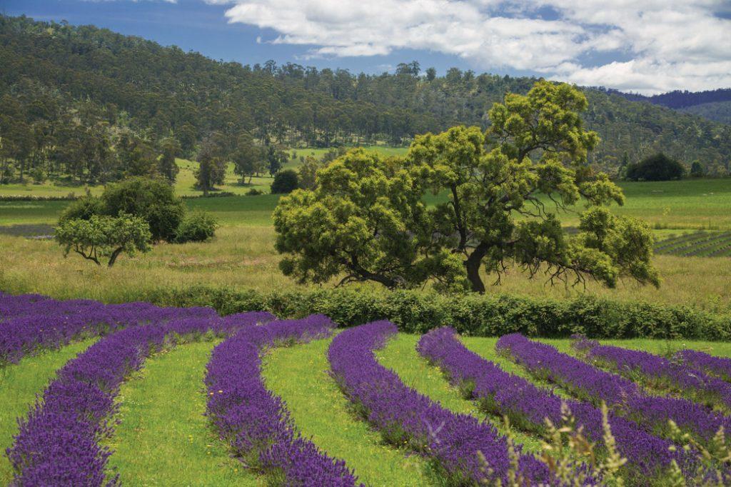 The Port Arthur Lavender Farm on the Tasman Peninsula in Tasmania, Australia