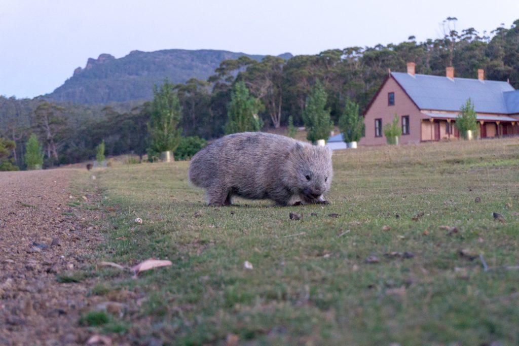 Wombat on Maria Island, Tasmania, Australia