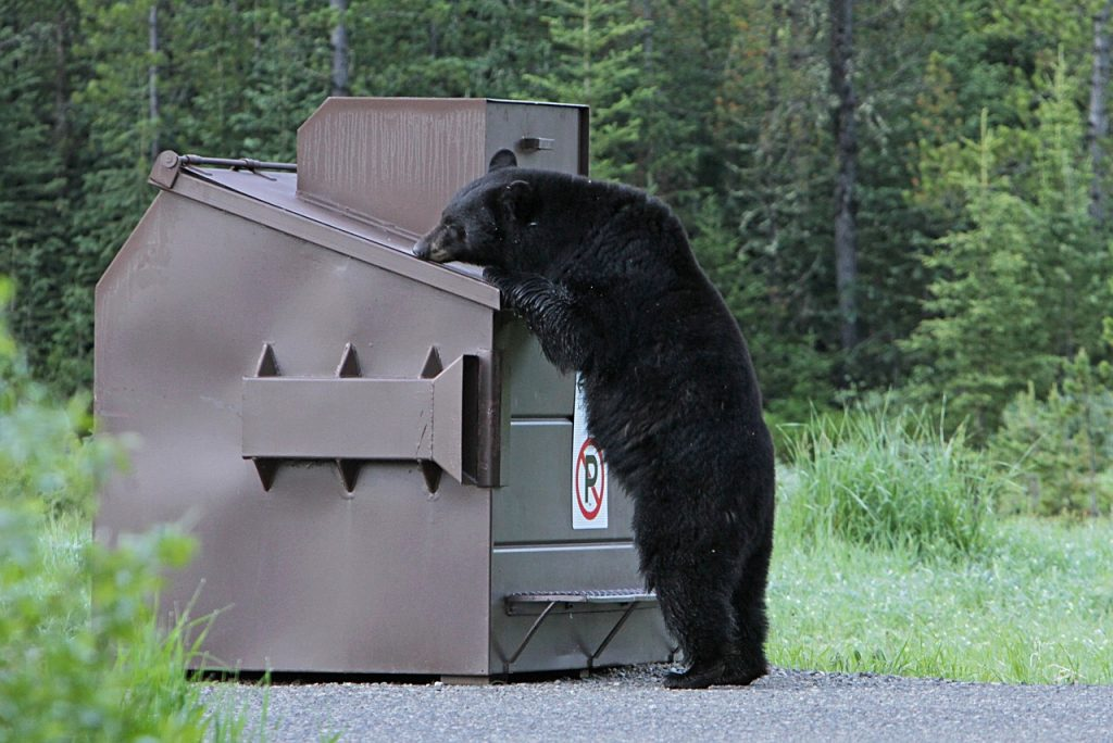 A bear tries to get in to a bear proof garbage bin in Yellowstone National Park