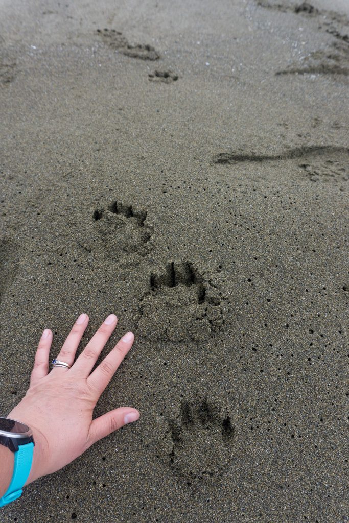 A woman wearing a watch holds her hand out to measure the size of wolf tracks on the beach on a backpacking trip