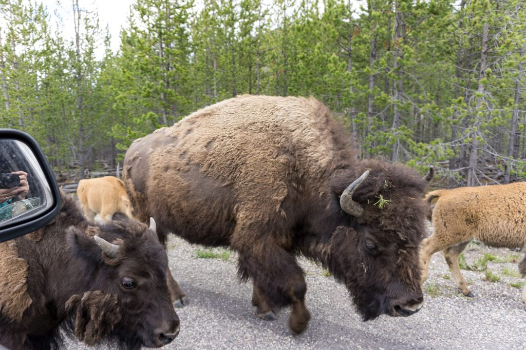 Bison walk past cars during a bison jam in Yellowstone National Park