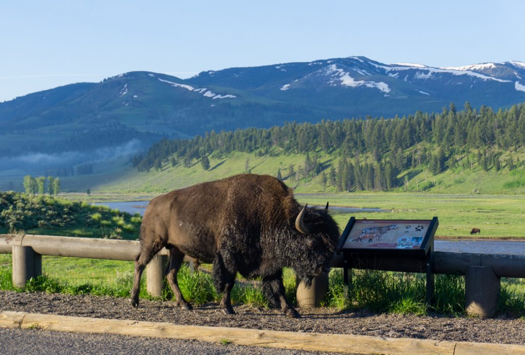 Roadside Bison in the Lamar Valley in Yellowstone National Park