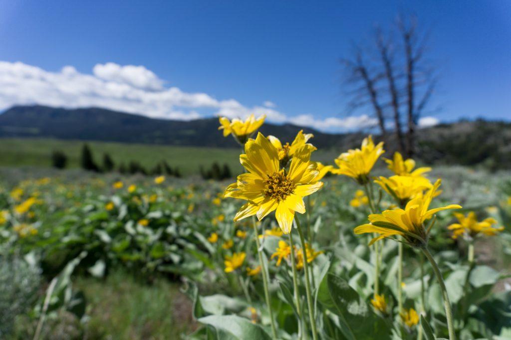 Wildflowers in Yellowstone