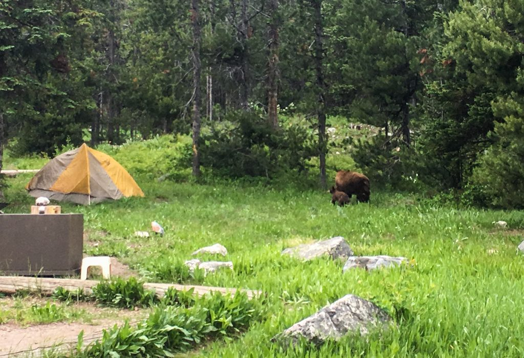 Bears in the campground in Grand Teton National Park