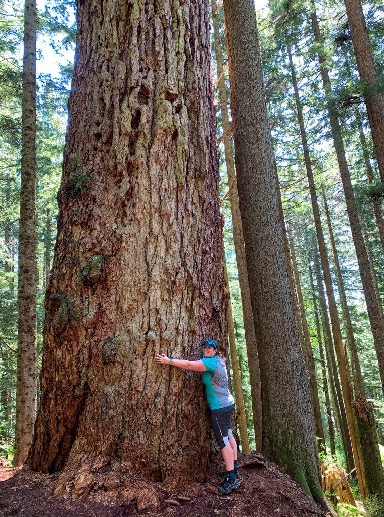 A hiker hugs the Hollyburn Fir, an old-growth douglas fir tree near Vancouver, BC