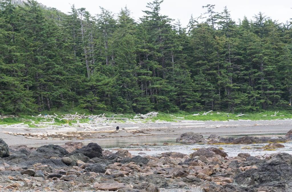 Black bear the beach in Cape Scott Provincial Park
