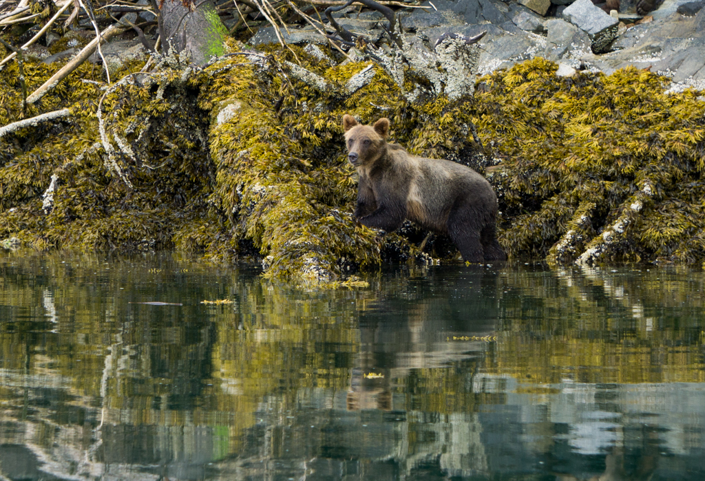 A grizzly bear eats mussels along the shoreline in Knight Inlet near north Vancouver Island, BC