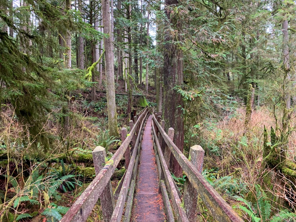 Elevated boardwalk with railings plunges straight through a cedar forest in Roberts Creek on the Sunshine Coast, BC