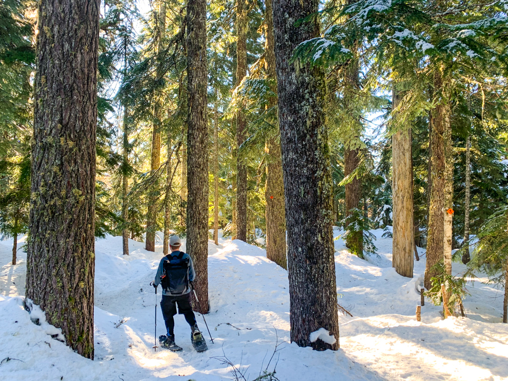 A man wearing snowshoes walks through a snowy forest.