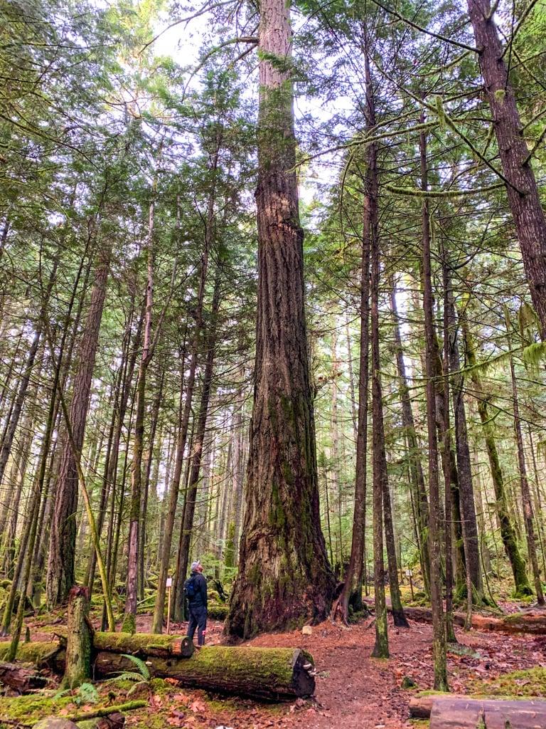 Giant trees at Hidden Groves in Sechelt on BC's Sunshine Coast