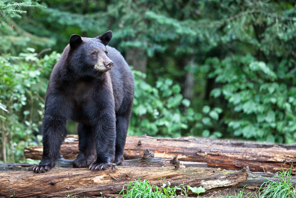A black bear stands on a log. It's a myth that bears are attracted to hikers on their periods.