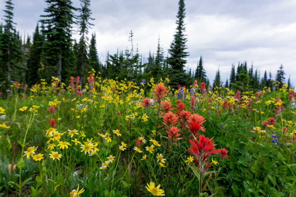 July and August are the best time to visit Mount Revelstoke National Park to enjoy the wildflowers.