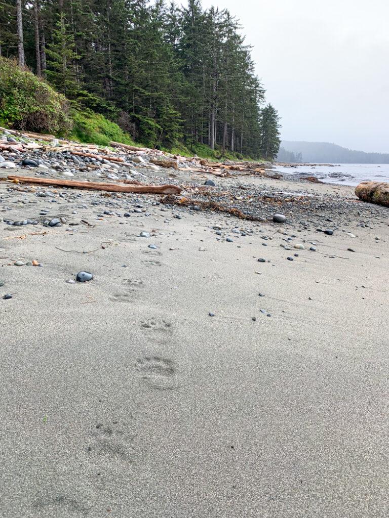 Bear tracks near Laura Creek